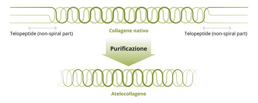 Collagene nativo - Purificazione - Atelocollagene