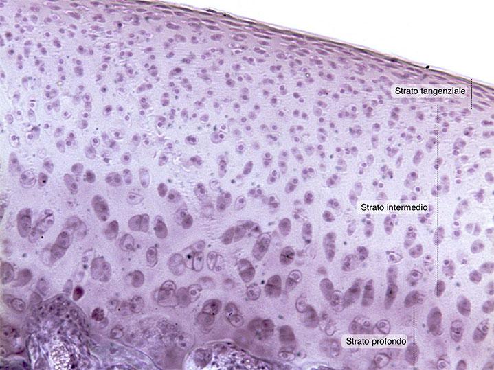 Cartilagine articolare